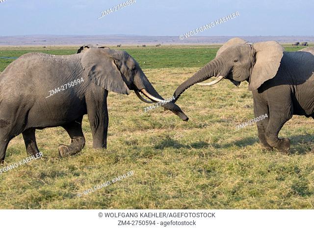 African elephants (Loxodonta africana) play-fighting in Amboseli National Park in Kenya