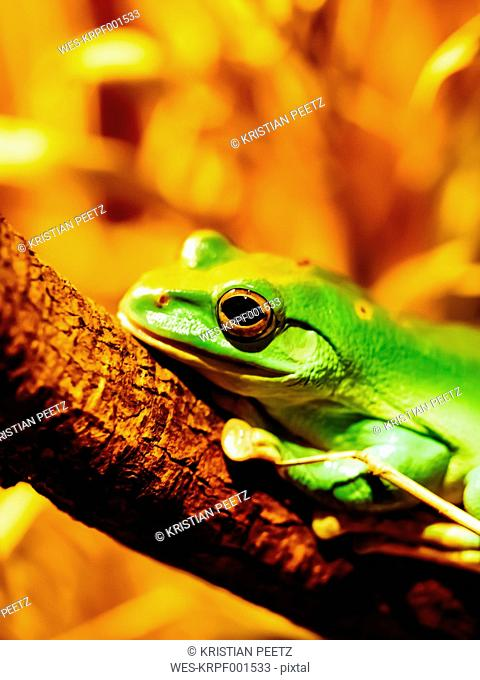 Chinese flying frog, Rhacophorus dennysi