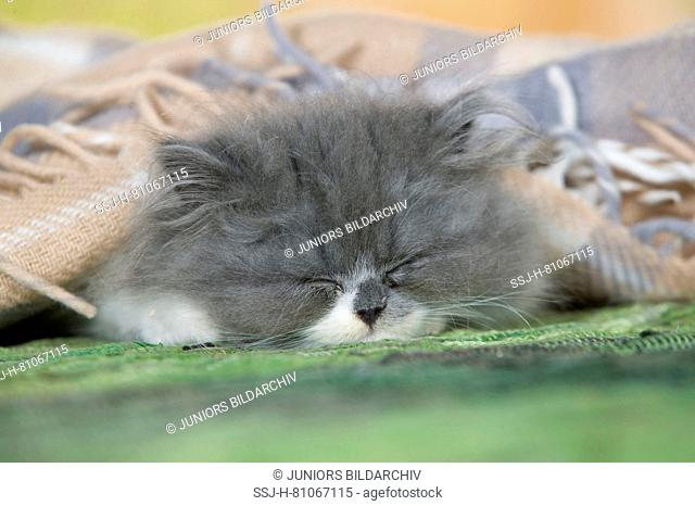 Persian Cat. Kitten sleeping on a carpet, covered by a blanket. Germany