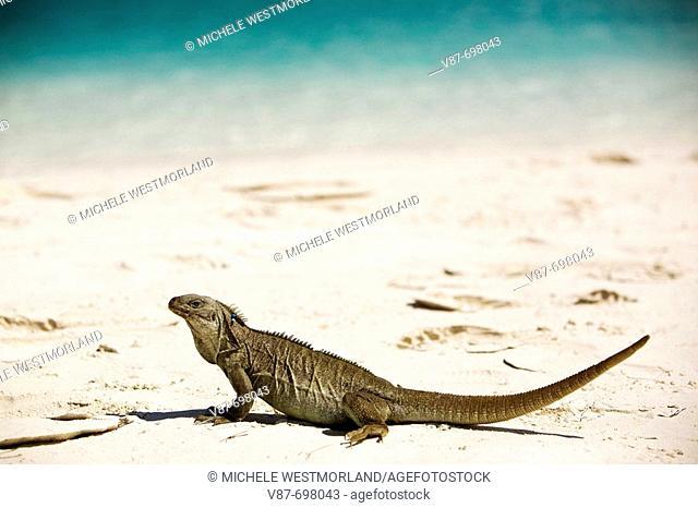Threatened rock iguana Cyclura carinata Iguana preserve on Little Water Cay off Providenciales, Turks and Caicos