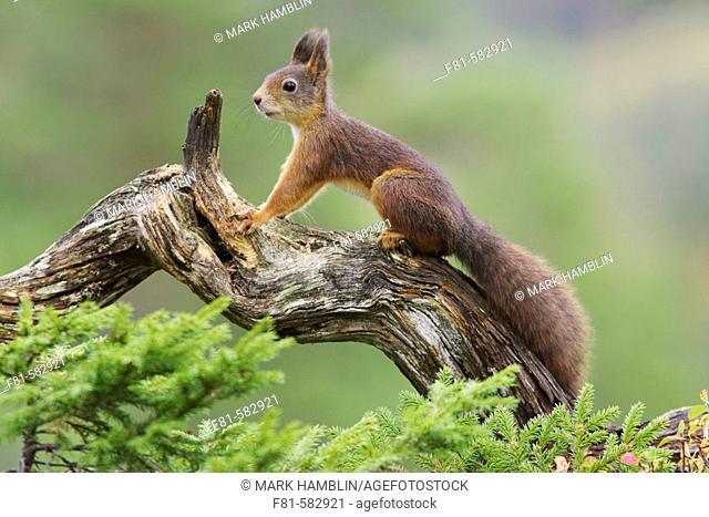 Red Squirrel  (Sciurus vulgaris) stood on log in forest. Norway. September 2005
