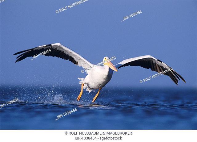 American White Pelican (Pelecanus erythrorhynchos), adult taking off, Rockport, Coastal Bend, Texas Coast, USA