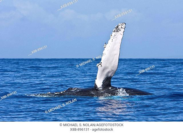 Adult humpback whale (Megaptera novaeangliae) pectoral fin slapping in the AuAu Channel between the islands of Maui and Lanai, Hawaii, USA