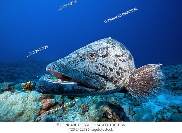 Potato Cod, Epinephelus tukula, Osprey Reef, Coral Sea, Australia