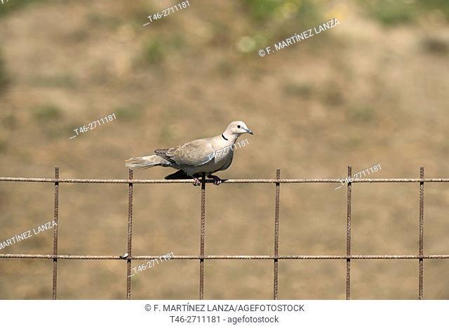 Collared dove (Streptopelia decaocto). Arrocampo, Saucedilla, Caceres province, Extremadura, Spain