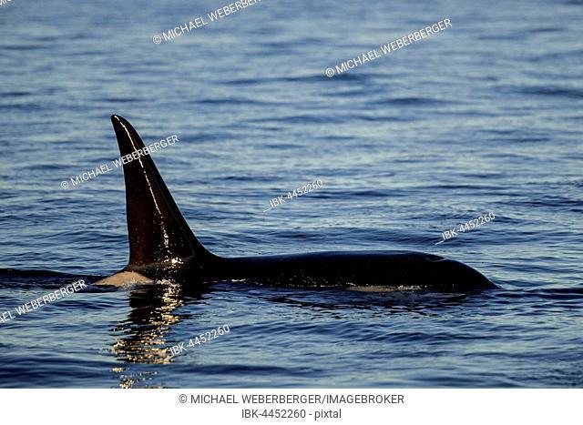 Orca (Orcinus orca), Kaldfjorden, Tromvik, Norway