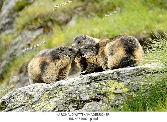 Alpine marmots (Marmota Marmota) on rock, High Tauern National Park, Austria