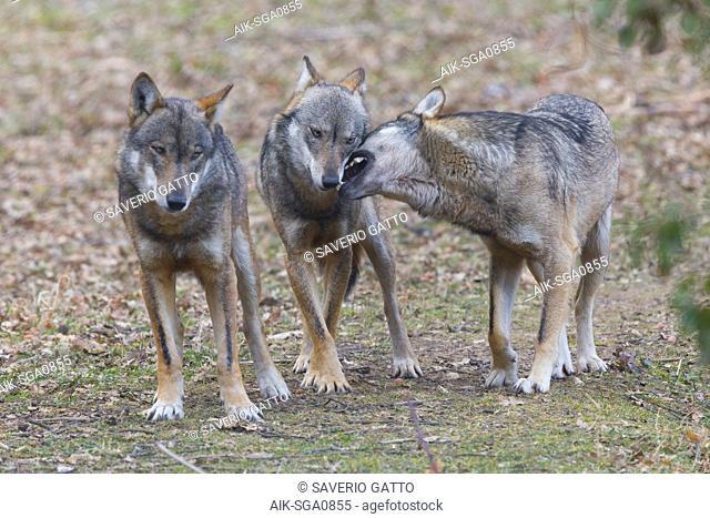 Italian Wolf (Canis lupus italicus), captive animals playing, Civitella Alfedena, Abruzzo, Italy
