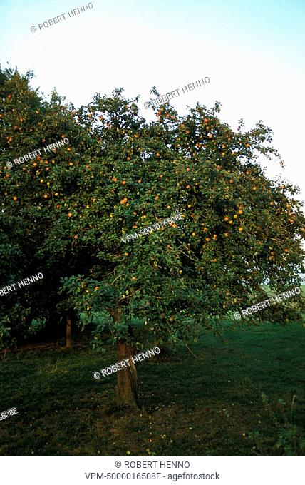 MALUS DOMESTICA - MALUS COMMUNISDOMESTIC APPLETREE - APPLEWITHN FRUIT