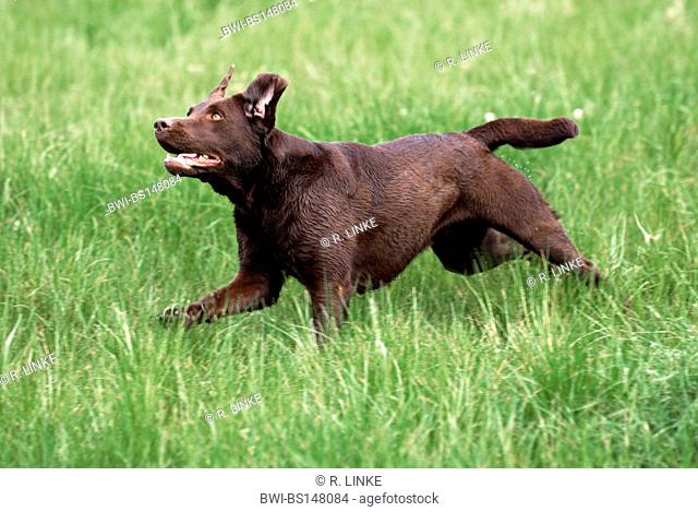 Labrador Retriever (Canis lupus f. familiaris), running in meadow