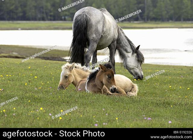 Domestic horses, mare with foal at Lake Chövsgöl, Chövsgöl, Mongolia, Asia