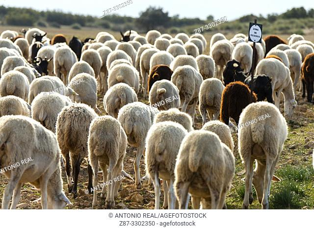 "Flock of ""Manchega"" sheep. Sugel. Almansa. Albacete . Castile-La Mancha. Spain"