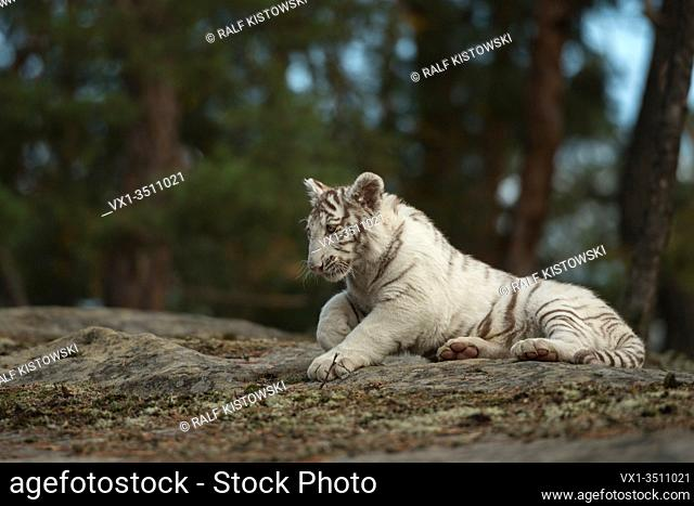 Royal Bengal Tiger / Koenigstiger ( Panthera tigris ), white animal, resting on rocks at the edge of a forest, nice setting, in natural surrounding