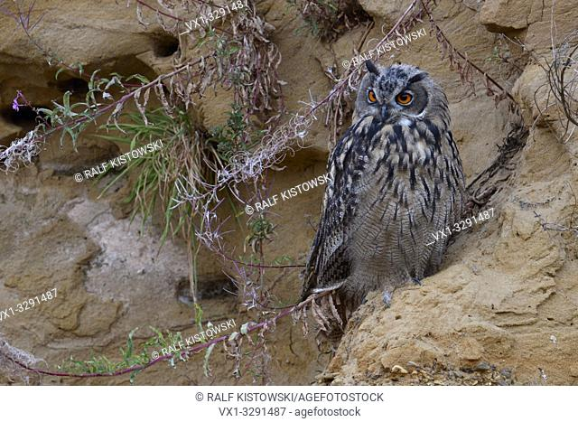 Eurasian Eagle Owl / Europaeischer Uhu ( Bubo bubo ), young bird, resting in a sand cliff, watching attentively, bright orange eyes, nice colours, wildlife