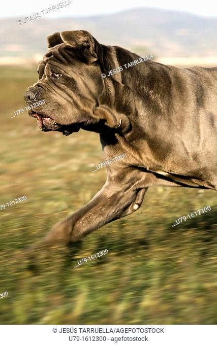 Neapolitan Mastiff Portrait trotting across the field