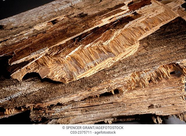 Rotten wood from an old building roof shows signs of fungus infestation