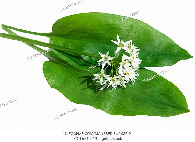 Baerlauch; Allium; ursinum; Zwiebelpflanze;