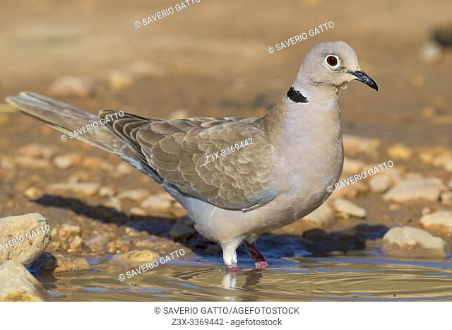 Eurasian Collared Dove (Streptopelia decaocto), adult entering a pool to get a bath, Dhofar, Oman