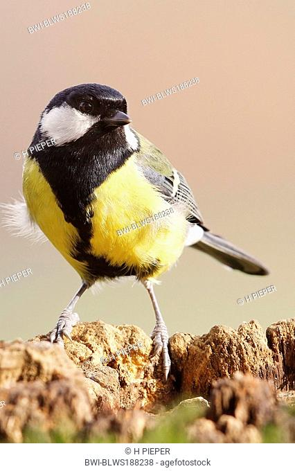 coal tit Parus ater, on tree snag, Germany