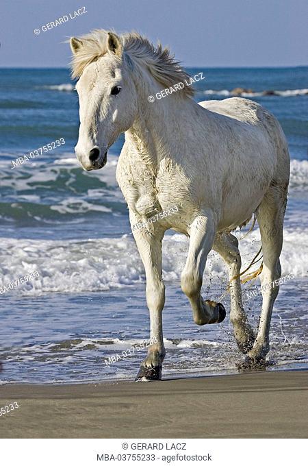 Camargue Horse, Adult walking on Beach, Saintes Maries de la Mer in South East of France