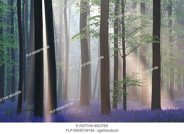 Bluebells Scilla non-scripta / Endymion nonscriptus / Hyacinthoides non-scripta in beech forest, Hallerbos, Belgium