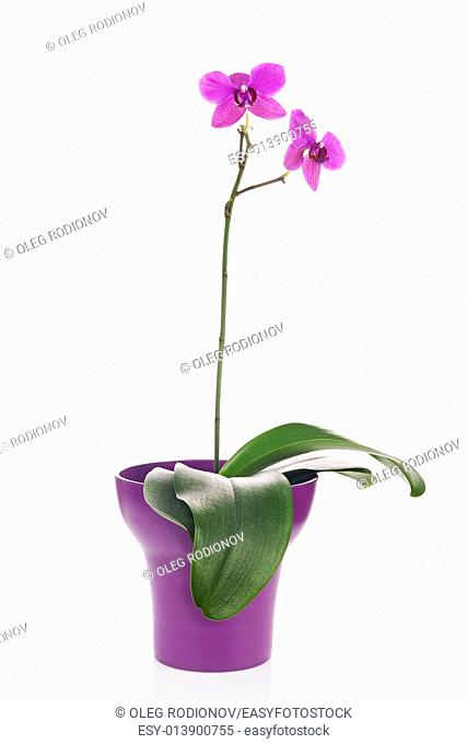 Blooming twig of fuchsia orchid in purple flower pot isolated on white background. Closeup