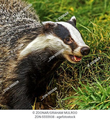 Snarling Badger (Meles meles) Berkshire UK