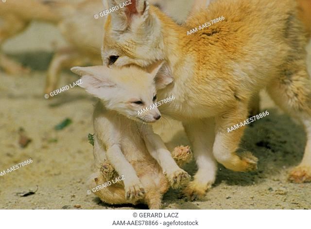 Fennec Fox with Young (Fennecus zerda)