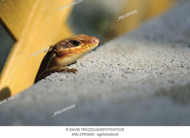 A five lined skink emerges from behind a concrete block to catch the last rays of sunlight of the day
