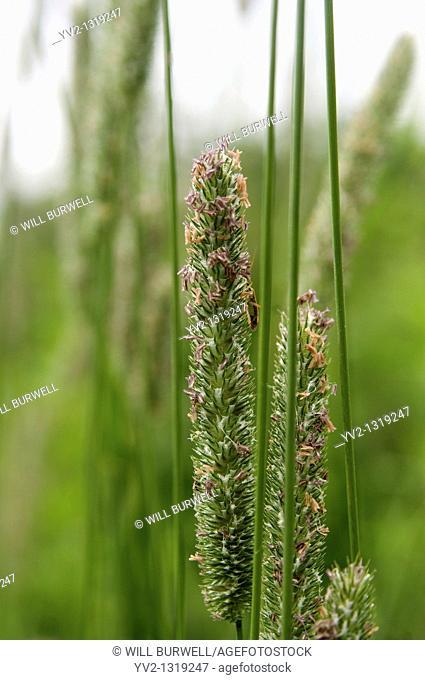 Closeup of Giant Fox Tail seeds