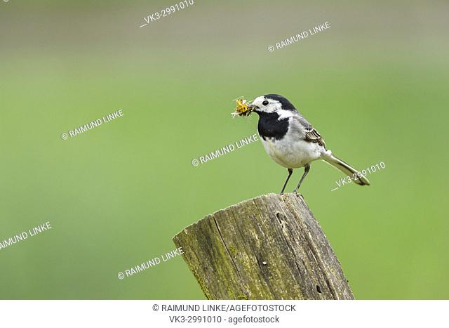 White Wagtail, Motacilla alba, with Insects in Beak