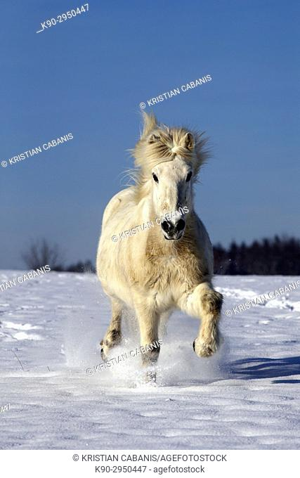 White Icelandic horse running on a snowy meadow heading to the photographer, Lennestadt, Siegerland, North-Rhein-Westphalia, Germany, Europe