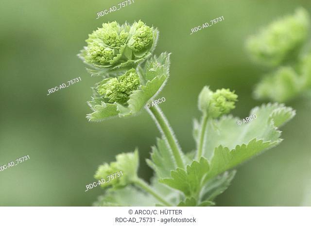 Lady's Mantle North Rhine-Westphalia Germany Alchemilla vulgaris
