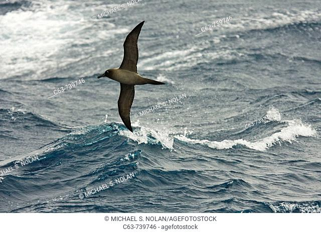 Adult light-mantled sooty albatross Phoebetria palpebrata on the wing in Drake Passage between the tip of South America and the Antarctic peninsula