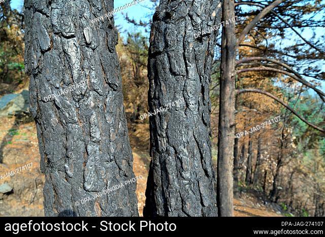 Burnt tree trunk, Sitla Estate, Nainital, Kumaon, Uttarakhand, India, Asia
