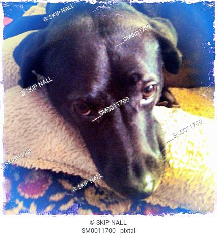 A black labrador retriever laying in her bed looking at the camera