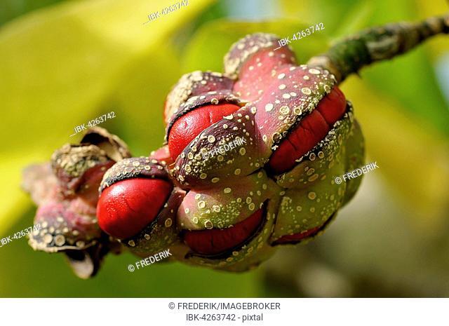 Kobushi or Kobus magnolia (Magnolia Kobus), red seeds in follicle, North Rhine-Westphalia, Germany