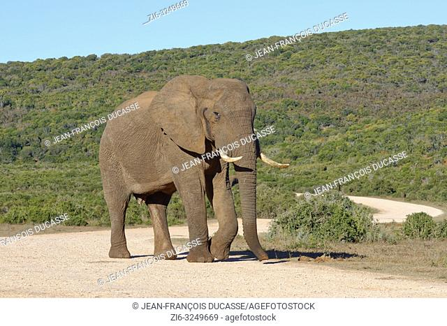 African bush elephant (Loxodonta africana), adult male, walking on a gravel road, Addo Elephant National Park, Eastern Cape, South Africa, Africa