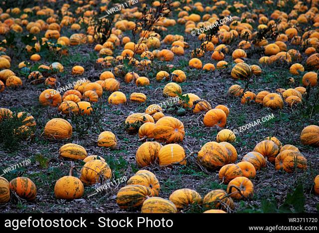 viele kuerbis liegen auf der erde auf einem feld zu halloween