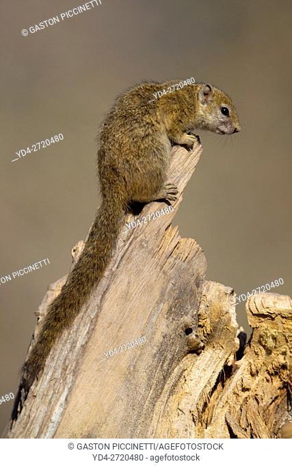 Tree Squirrel (Paraxerus cepapi), Moremi Game Reserve, Okavango Delta, Botswana