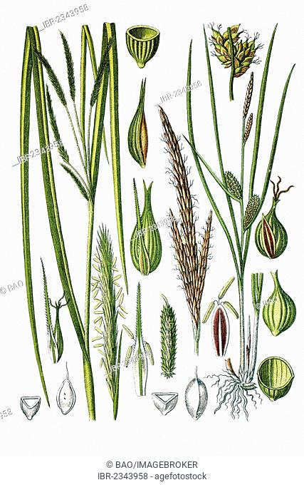 Left, Cypress-like Sedge (Carex pseudocyperus), right, Beaked Sedge (Carex rostrata), medicinal plants, historical chromolithography, ca. 1786