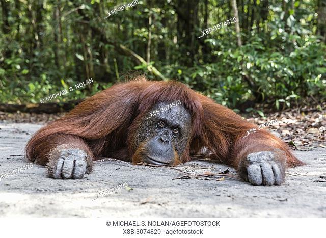 Female Bornean orangutan, Pongo pygmaeus, at Camp Leakey, Borneo, Indonesia