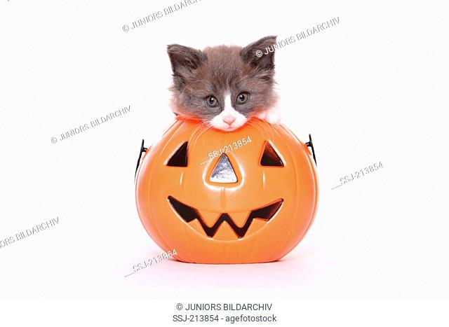 Norwegian Forest Cat. Kitten (6 weeks old) in a Jack-O-Lantern. Studio picture against a white background. Germany