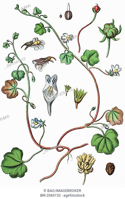 Ivy-leaved toadflax or Kenilworth ivy (Cymbalaria muralis, syn. Linaria cymbalaria), medicinal plant, useful plant, chromolithography, 1888