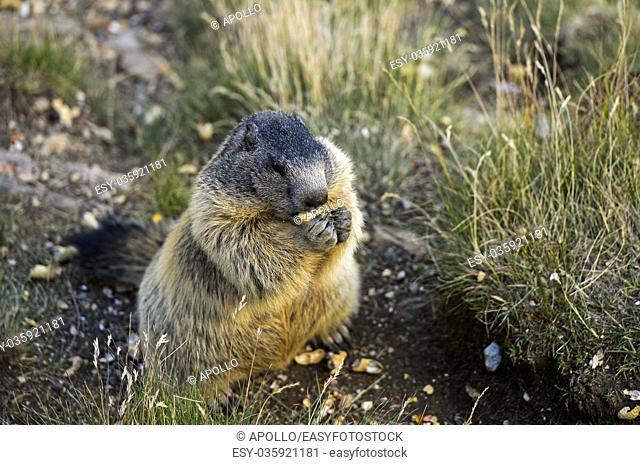 Alpine marmot (Marmota marmota), Saas-Fee, Valais, Switzerland