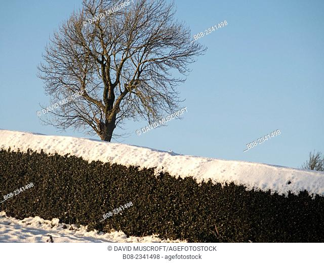 hedge and tree in snow, near Matlock, Derbyshire, Britain (December 2014)
