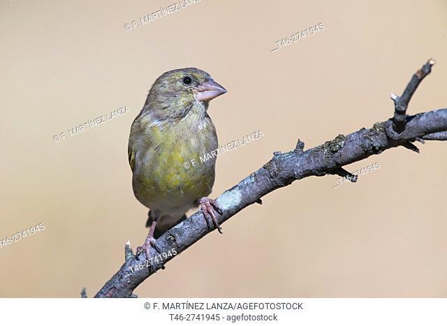 European greenfinch greenfinch or male (Chloris chloris). Fresnedilla de la Oliva, Madrid province, Spain