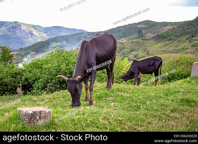 The Zebu cattle in the pasture on the island of Madagascar