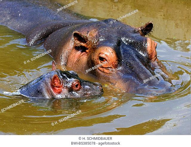 hippopotamus, hippo, Common hippopotamus (Hippopotamus amphibius), adult with pup in stretch of water, Africa