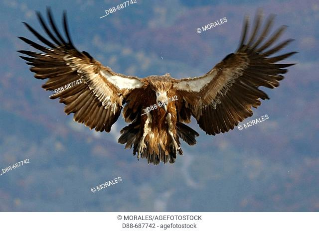 Eurasian Griffon Vulture (Gyps fulvus) in a feeding facility for necrophagous birds